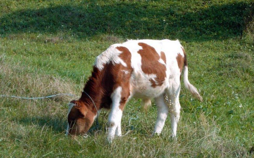 Тимпания рубца у теленка