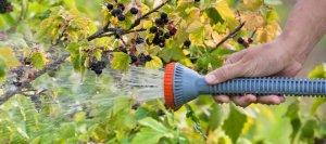 Размножение смородины черенками зимой, правила укоренения