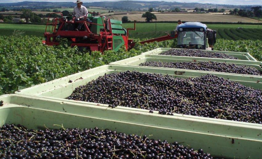 Сбор урожая с плантации чёрной смородины