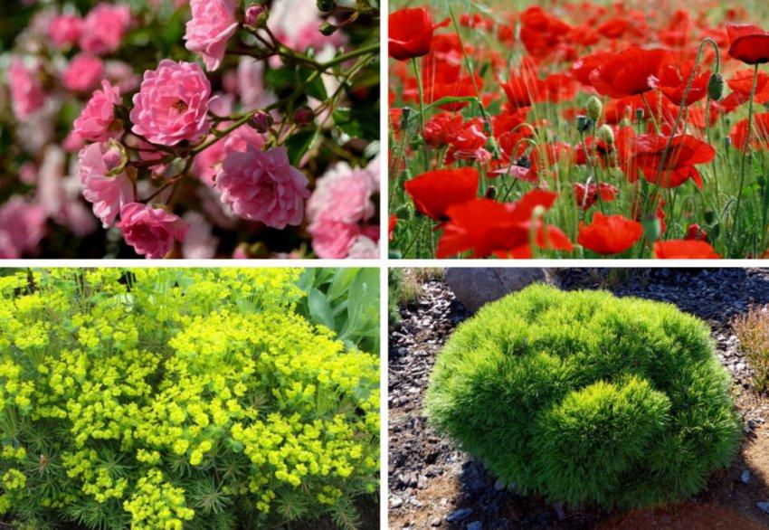 Сочетание жимолости с другими растениями