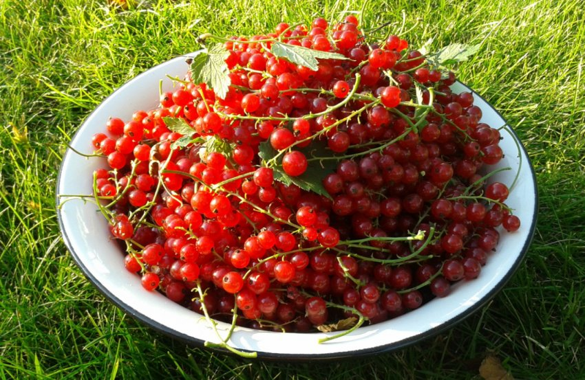 Урожай красной смородины
