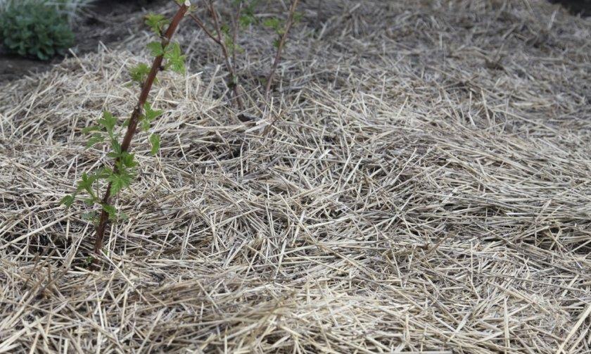 Мульчирование ежевики соломой