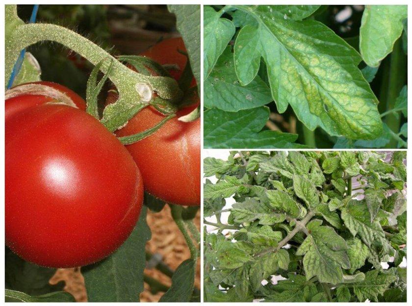 Вредители на томатах