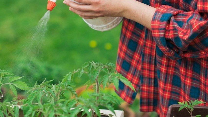 обработка рассады томатов медным купоросом
