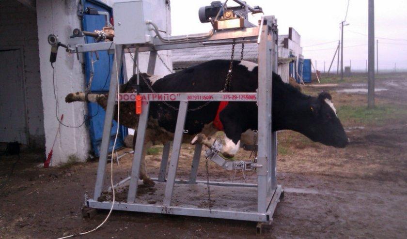 кинофестивале станки для фиксации коров фото пример главной