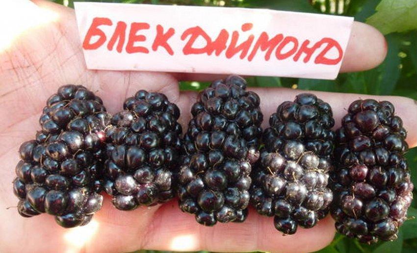Ежевика Блек Даймонд