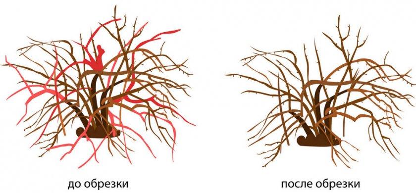 Схема обрезки калины