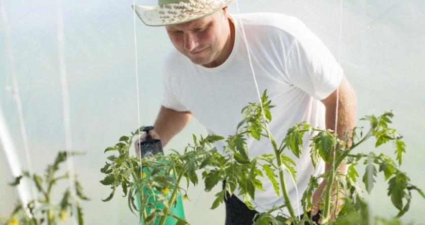 Обработка томатов медным купоросом