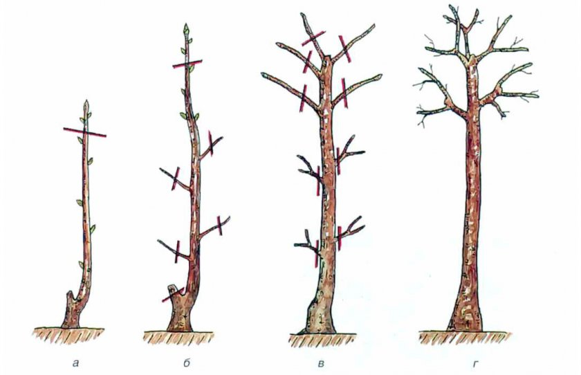 Выращивание и формировка штамба