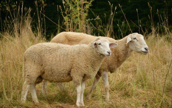 Предок домашней овцы 5 букв. Домашние овцы: предки и происхождение