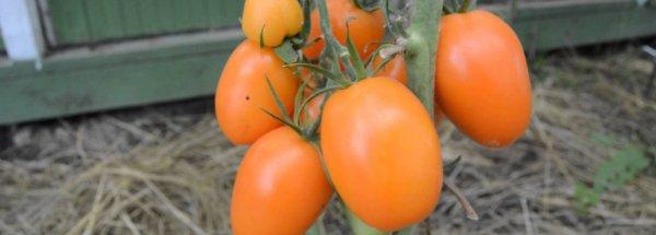 Томат Чухлома: характеристика и описание сорта, урожайность отзывы фото
