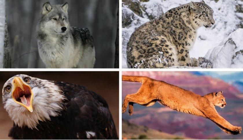 Враги горных баранов