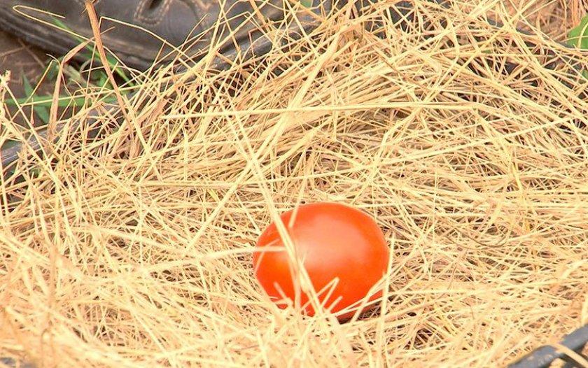 Хранение помидор в соломе