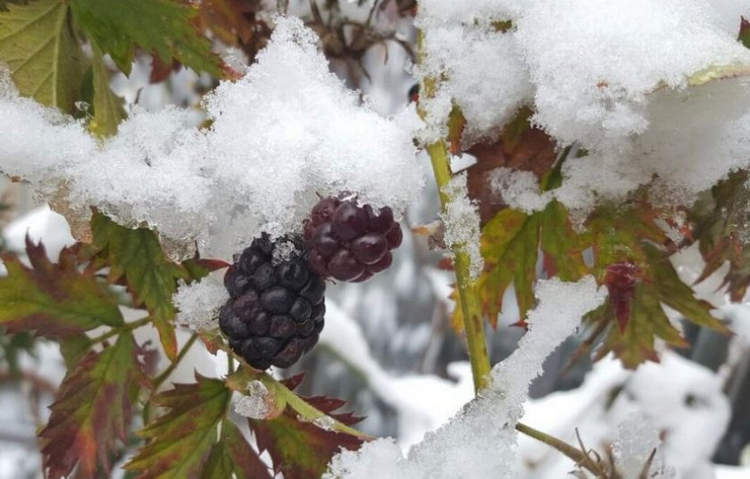 Ежевика зимой