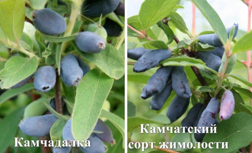 Сорта-опылители
