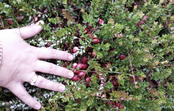 Садовая клюква – выращивание в домашних условиях