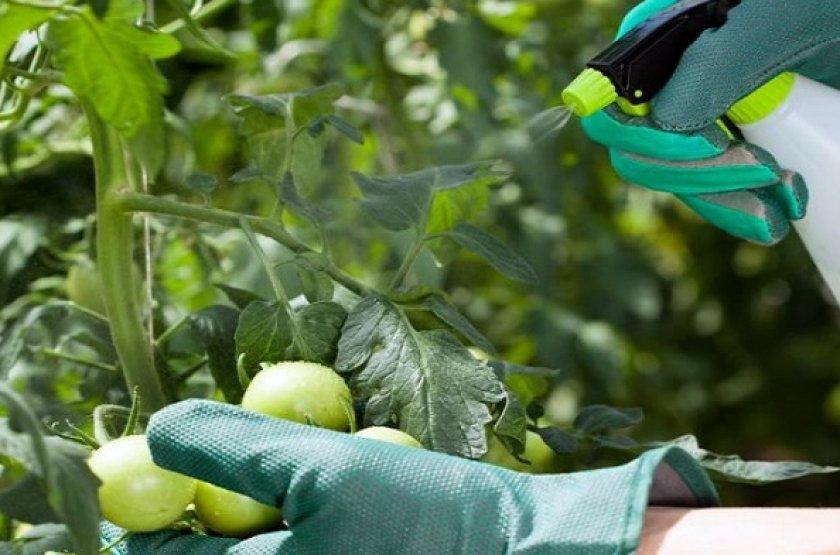 Опрыскивание кальциевой селитрой помидоры от вершинной гнили