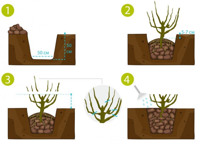 Схема посадки кустарника