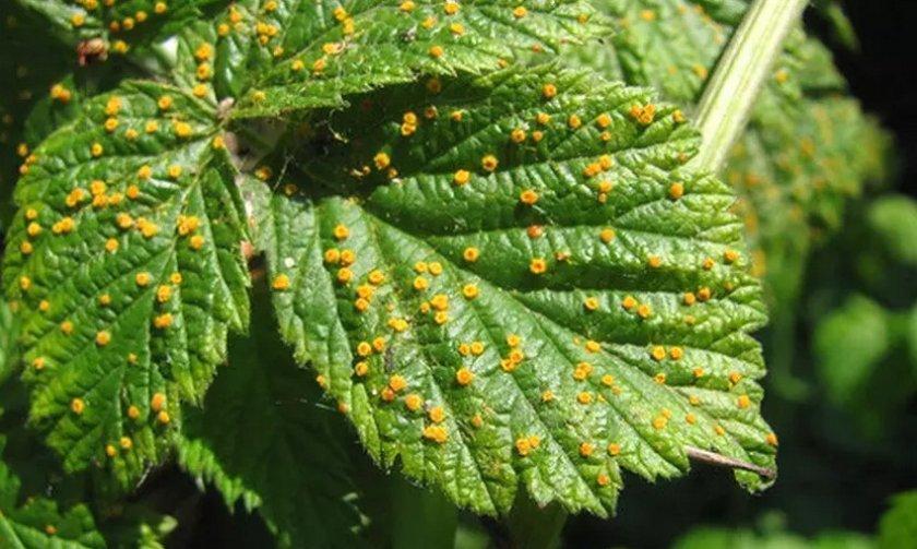 Ржавчина на листьях ежевики