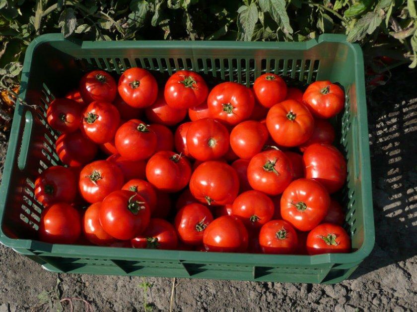 Урожай томатов Бобкат