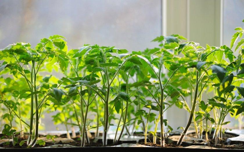 Выращивание помидоров Бобкат