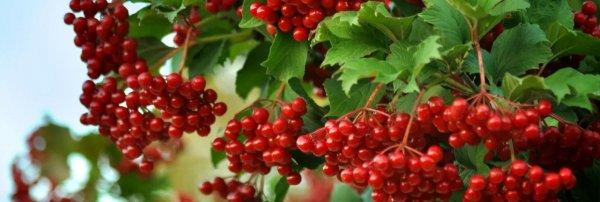 Польза калины красной для здоровья для женщин