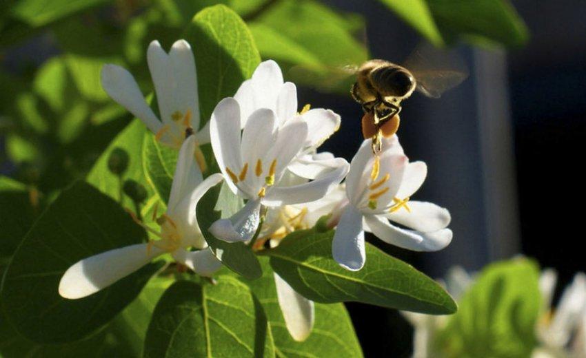 Пчела на цветке жимолости