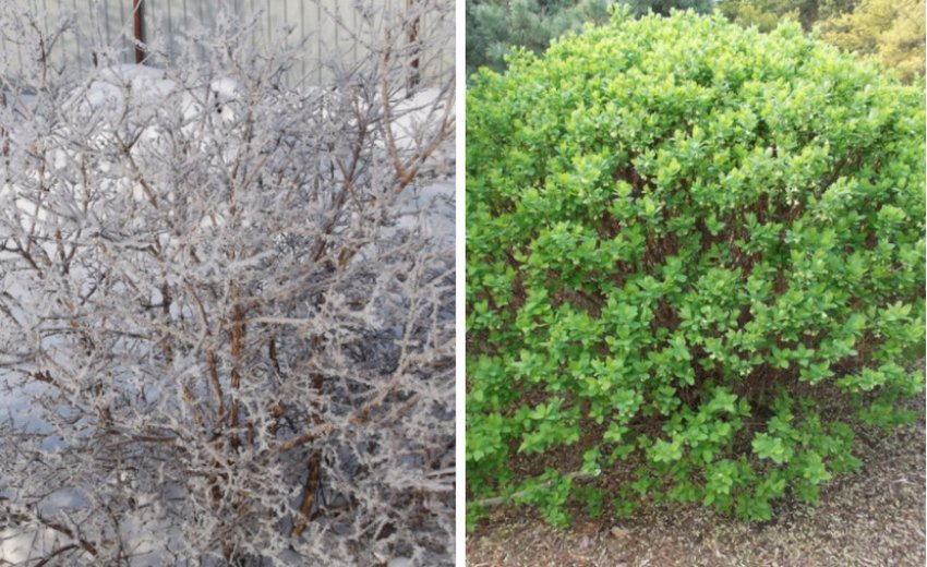 Куст жимолости зимой и летом