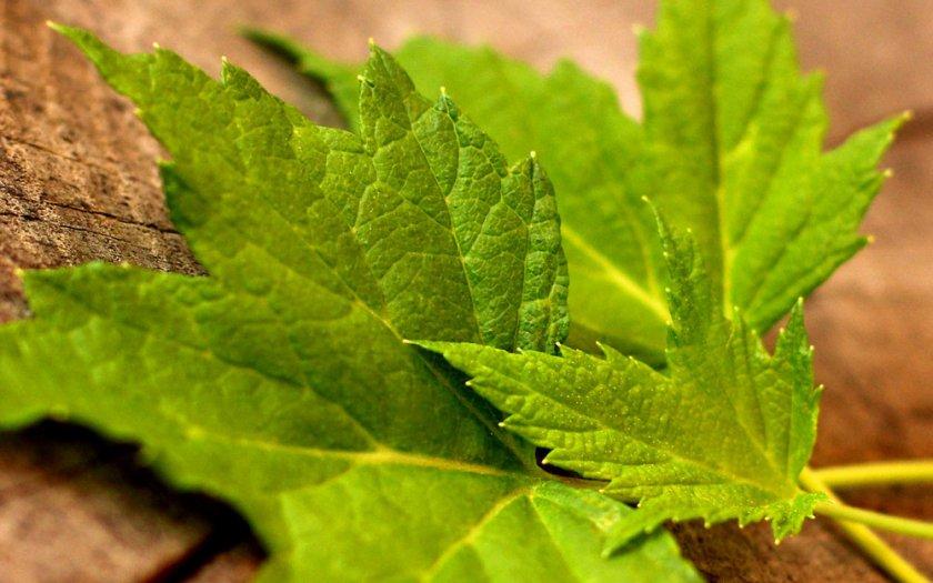 Листья чёрной смородины