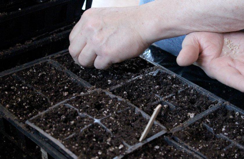 Посев семян рассады томатов