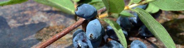 Сорт жимолости съедобной Герда: описание с фото, опылители, урожайность