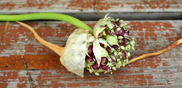 Как правильно посадить бульбочки чеснока под зиму: особенности выращивания и ухода