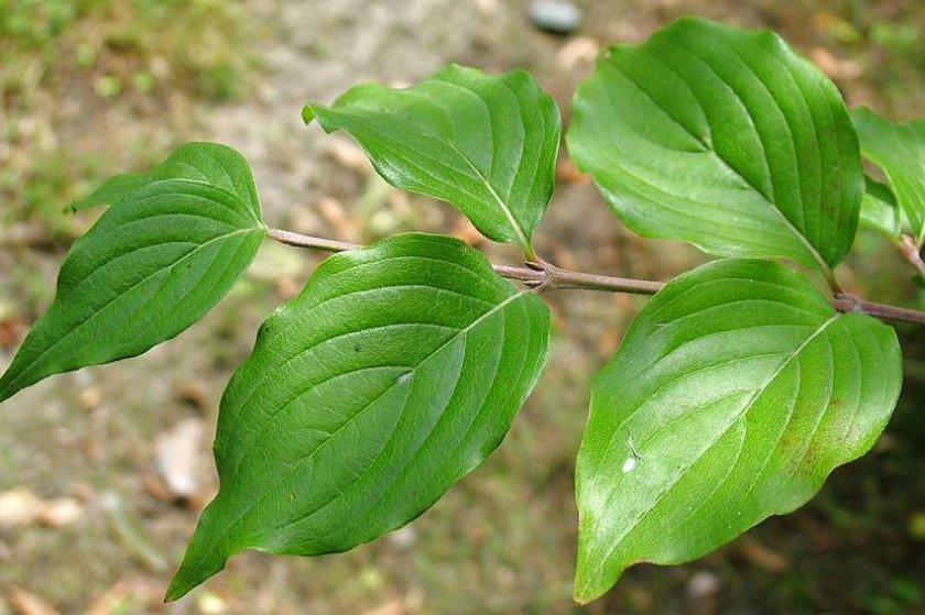 Листья кизила