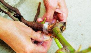 Шиповник махровый: характеристика и тонкости выращивания