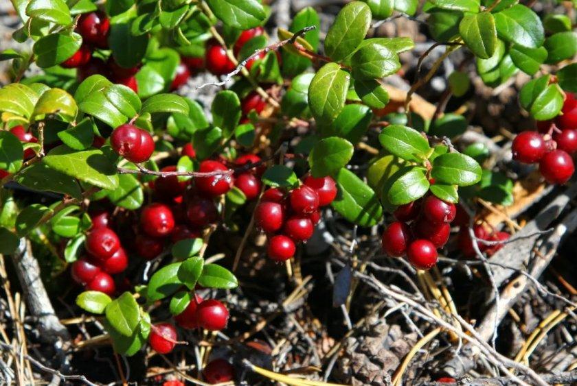 Брусника ягода фото и описание всего