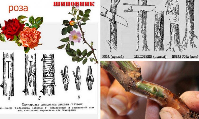 Схема прививки розы на шиповник