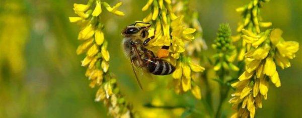 Лучшие медоносные растения для пчел: фото с названиями трав, цветов и кустарников