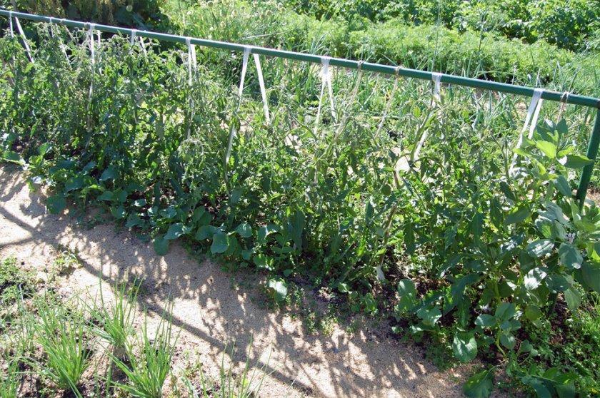 Вертикальная подвязка томатов
