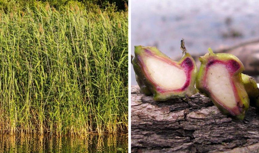 Тростник и водяной орех
