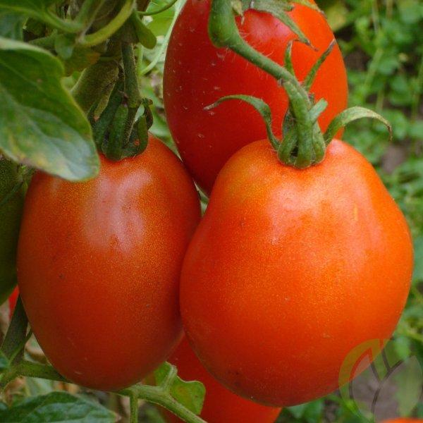 Томат Буян (Боец): характеристика и описание сорта помидоров, отзывы о его выращивании и урожайности, фото плодов