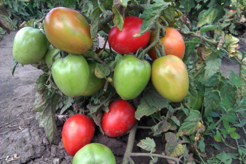 Выращивание томата Буян