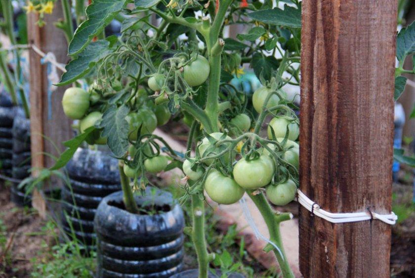 Подвязка помидоров к деревянным кольям