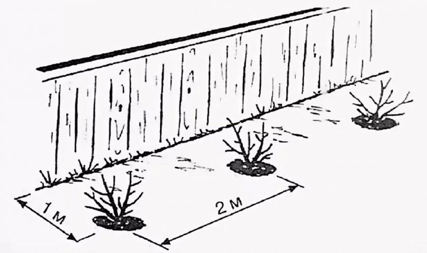 Расстояние между посадками ягодных кустарников