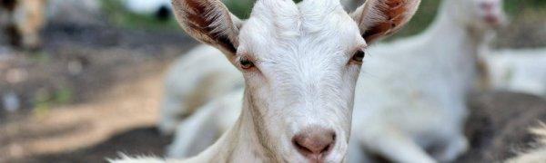 Почему коза после окота плохо ест и дает мало молока? — Sam-Village