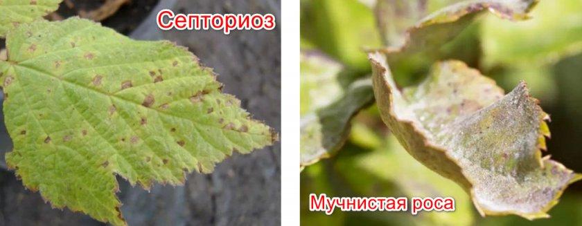 Септориоз и мучнистая роса
