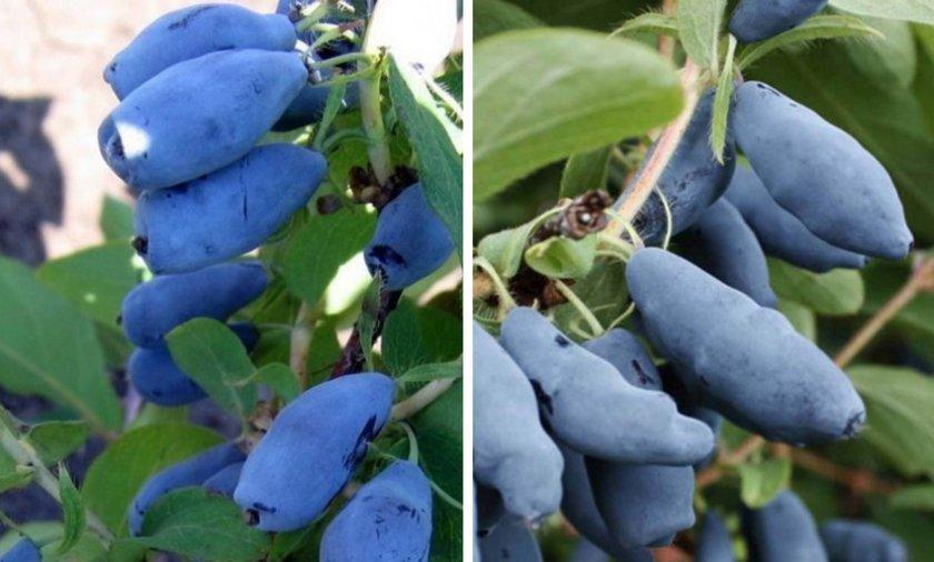 Жимолость Голубой десерт