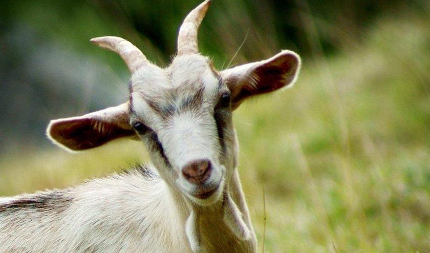 Мастит у козы