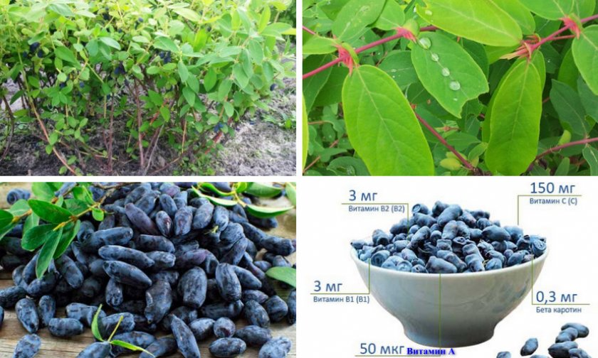 Описание кустарника и плодов жимолости