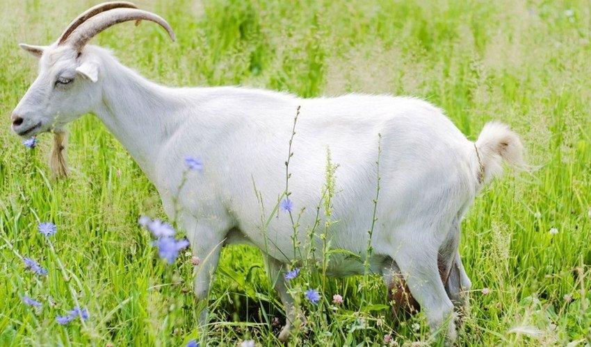 Травма вымени у козы