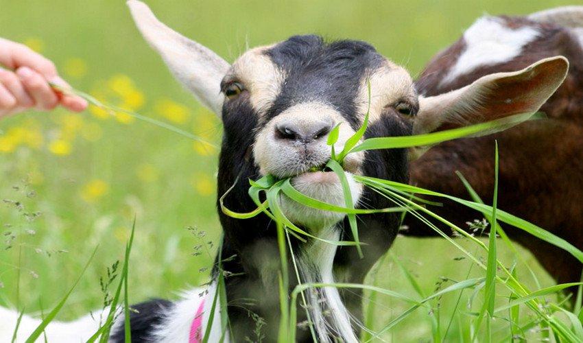 Питание коз